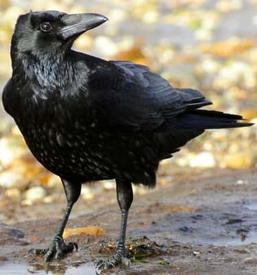 They Mob Anything Or Anyone Th is listed (or ranked) 1 on the list 16 Unnerving Facts About Corvids Most People Don't Know