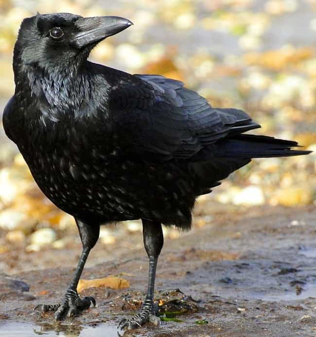 They Mob Anything Or Any... is listed (or ranked) 1 on the list 16 Unnerving Facts About Corvids Most People Don't Know
