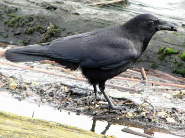They Are Family Oriented is listed (or ranked) 13 on the list 16 Unnerving Facts About Corvids Most People Don't Know