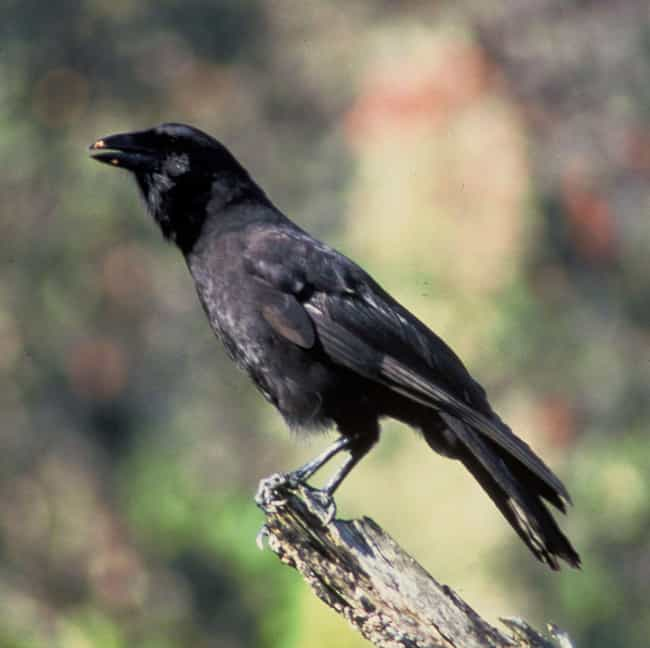 """They Can """"Talk"""" is listed (or ranked) 16 on the list 16 Unnerving Facts About Corvids Most People Don't Know"""