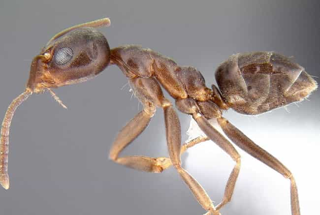 They Build Super Colonies The ... is listed (or ranked) 1 on the list Why Argentine Ants Are The Most Successful Species On The Planet