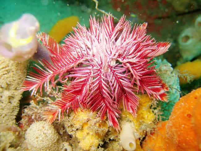 They're Often Seen As Se... is listed (or ranked) 3 on the list 14 Utterly Odd Facts About Crinoids, Sea Creatures That Are Basically Aliens