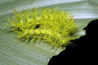 The Tasar Silkworm Caterpillar Are Responsible For Hundreds Of Casualties