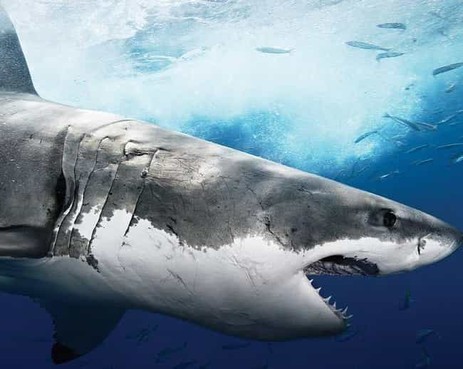 Sharks Have Roamed The Earth&#... is listed (or ranked) 3 on the list 14 Beyond Fascinating Facts About Sharks That Most People Don't Know