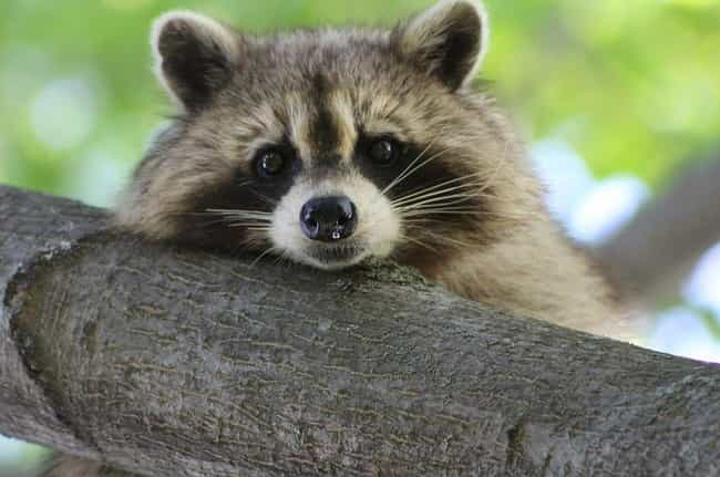 Dangerous Facts About Raccoons The Jerks Rooting Through Your Trash
