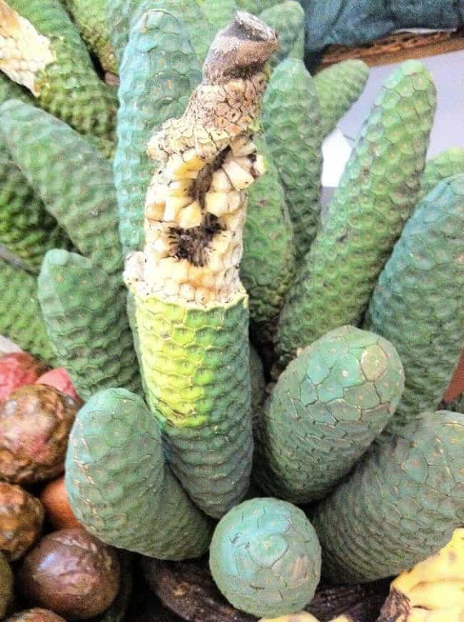 Monstera Deliciosa Fruit... is listed (or ranked) 2 on the list The World's Weirdest Fruits