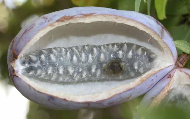 Akebia Quinata Fruit is listed (or ranked) 3 on the list The World's Weirdest Fruits