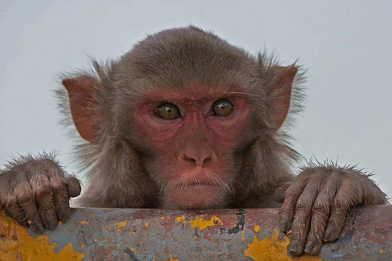 175 Rhesus Monkeys Escaped A L is listed (or ranked) 1 on the list The Wildest Zoo Animal Escapes Of All Time