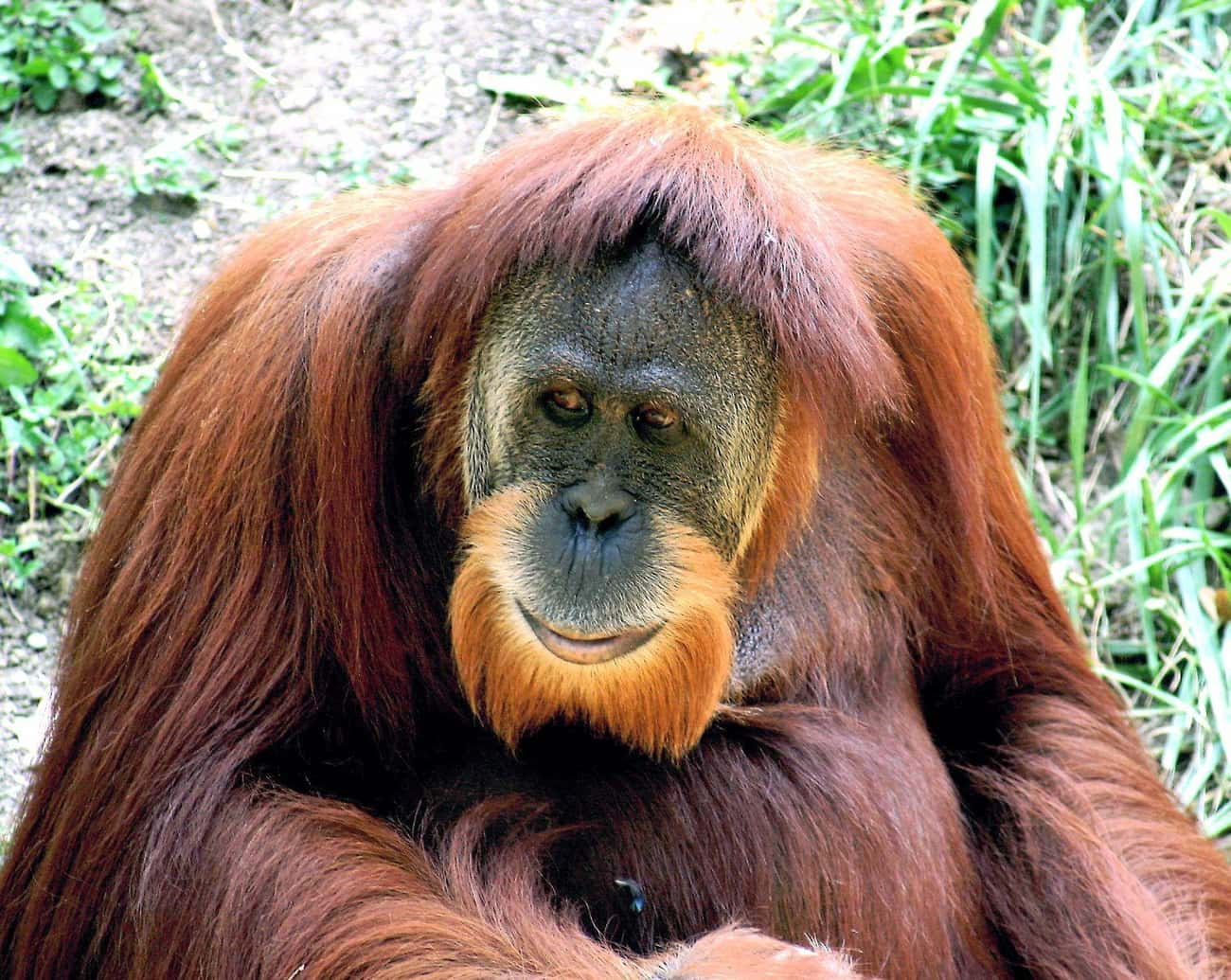 Ken Allen, The Orangutan, Esca is listed (or ranked) 3 on the list The Wildest Zoo Animal Escapes Of All Time