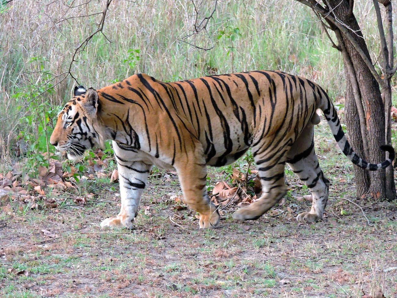 One Tiger Came To An Indian Zo is listed (or ranked) 4 on the list The Wildest Zoo Animal Escapes Of All Time