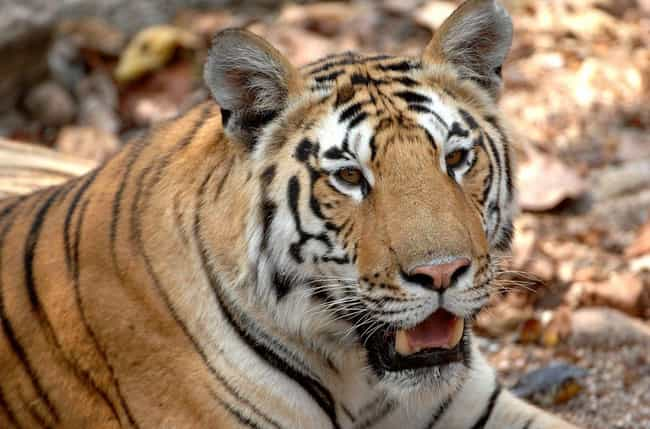 One Indian Tiger Did It ... is listed (or ranked) 4 on the list The Wildest Zoo Animal Escapes Of All Time