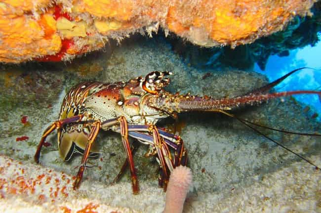 They Can Taste For Prey ... is listed (or ranked) 4 on the list 14 Surprising Things Most People Never Learned About Lobsters