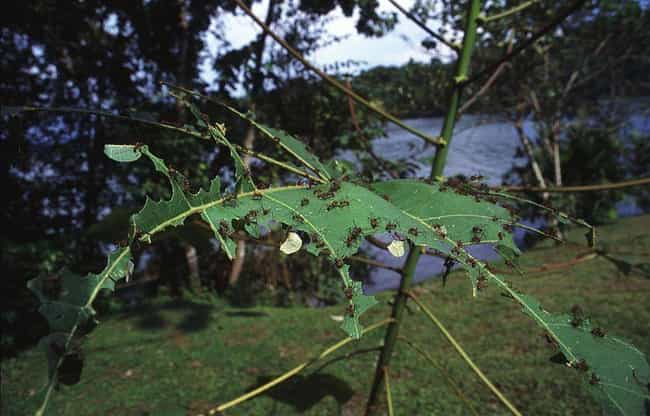 Their Jaws Vibrate At Th... is listed (or ranked) 3 on the list 14 Crazy Awesome Facts About Leafcutter Ants, Some Mad Resourceful Insects