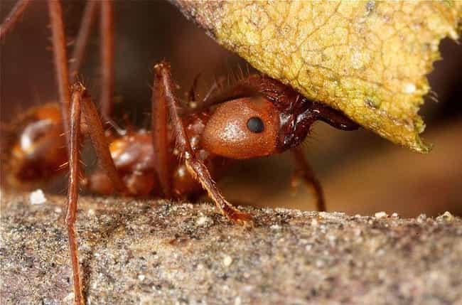 They Can Carry Up To 50 ... is listed (or ranked) 1 on the list 14 Crazy Awesome Facts About Leafcutter Ants, Some Mad Resourceful Insects