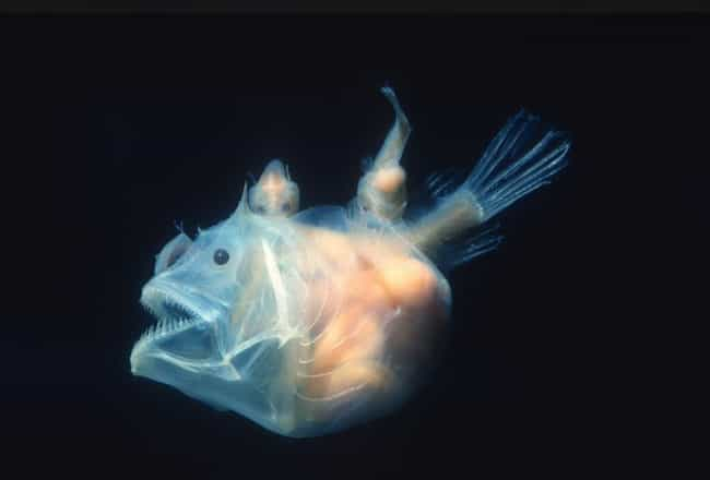 An Angler Fish Glows At ... is listed (or ranked) 1 on the list 20 Stunning Photos Of Naturally Neon Animals That Even Put Vegas To Shame