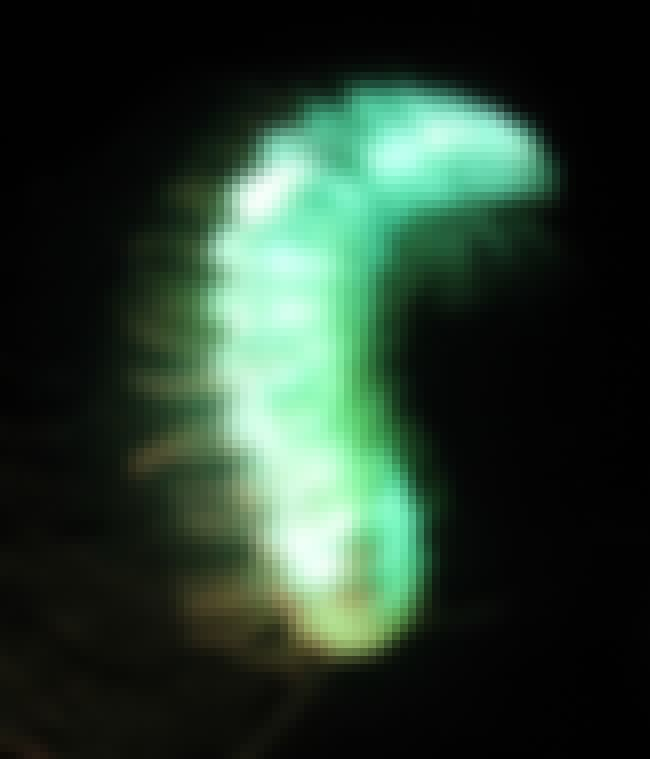 The Luminous Motyxia Millipede is listed (or ranked) 4 on the list 21 Stunning Photos Of Naturally Neon Animals That Even Put Vegas To Shame