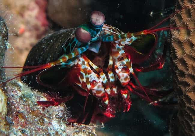 Mantis Shrimp Are Not Ac... is listed (or ranked) 1 on the list 14 Incredible Things You Didn't Know About Mantis Shrimp, Tiny Hulks Of The Sea