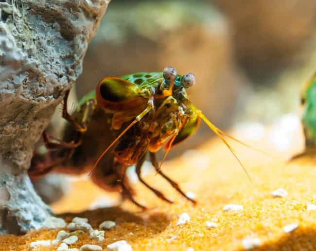 They Can Speak In Secret... is listed (or ranked) 2 on the list 14 Incredible Things You Didn't Know About Mantis Shrimp, Tiny Hulks Of The Sea
