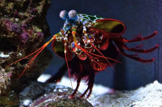 Their Attacks Can Move F... is listed (or ranked) 4 on the list 14 Incredible Things You Didn't Know About Mantis Shrimp, Tiny Hulks Of The Sea