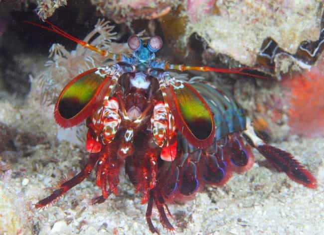 They Come In A Huge Vari... is listed (or ranked) 3 on the list 14 Incredible Things You Didn't Know About Mantis Shrimp, Tiny Hulks Of The Sea