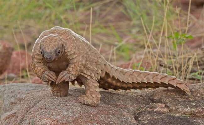 They Are The World's Only ... is listed (or ranked) 1 on the list 16 Reasons The Pangolin Is The Most Badass Animal You've Never Heard Of