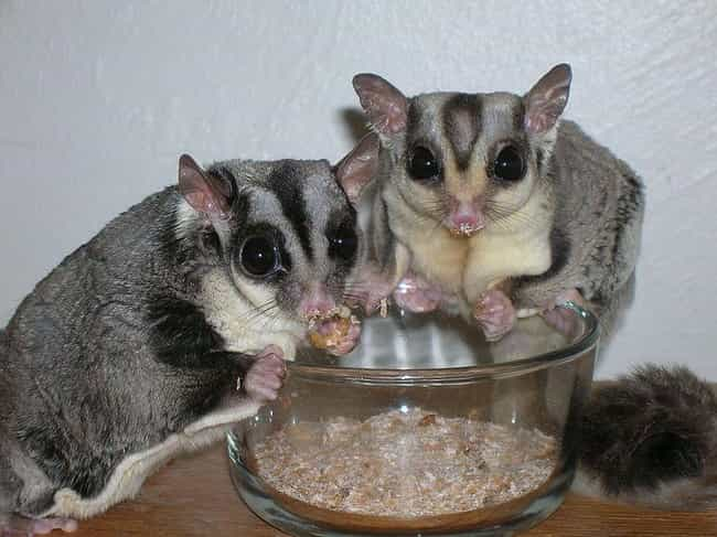 They Have A Super Strict... is listed (or ranked) 1 on the list Reasons Why Sugar Gliders Should Not Be Pets