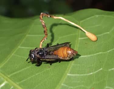 Ophiocordyceps Fungi Turn Ants Into Real-Life Zombies