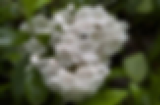 "Kalmia Latifolia Creates ""... is listed (or ranked) 4 on the list 12 Utterly Bizarre Effects That Plants And Fungi Can Induce"