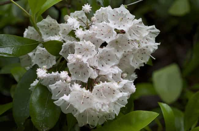 Kalmia Latifolia Creates... is listed (or ranked) 4 on the list 12 Utterly Bizarre Effects That Plants And Fungi Can Induce