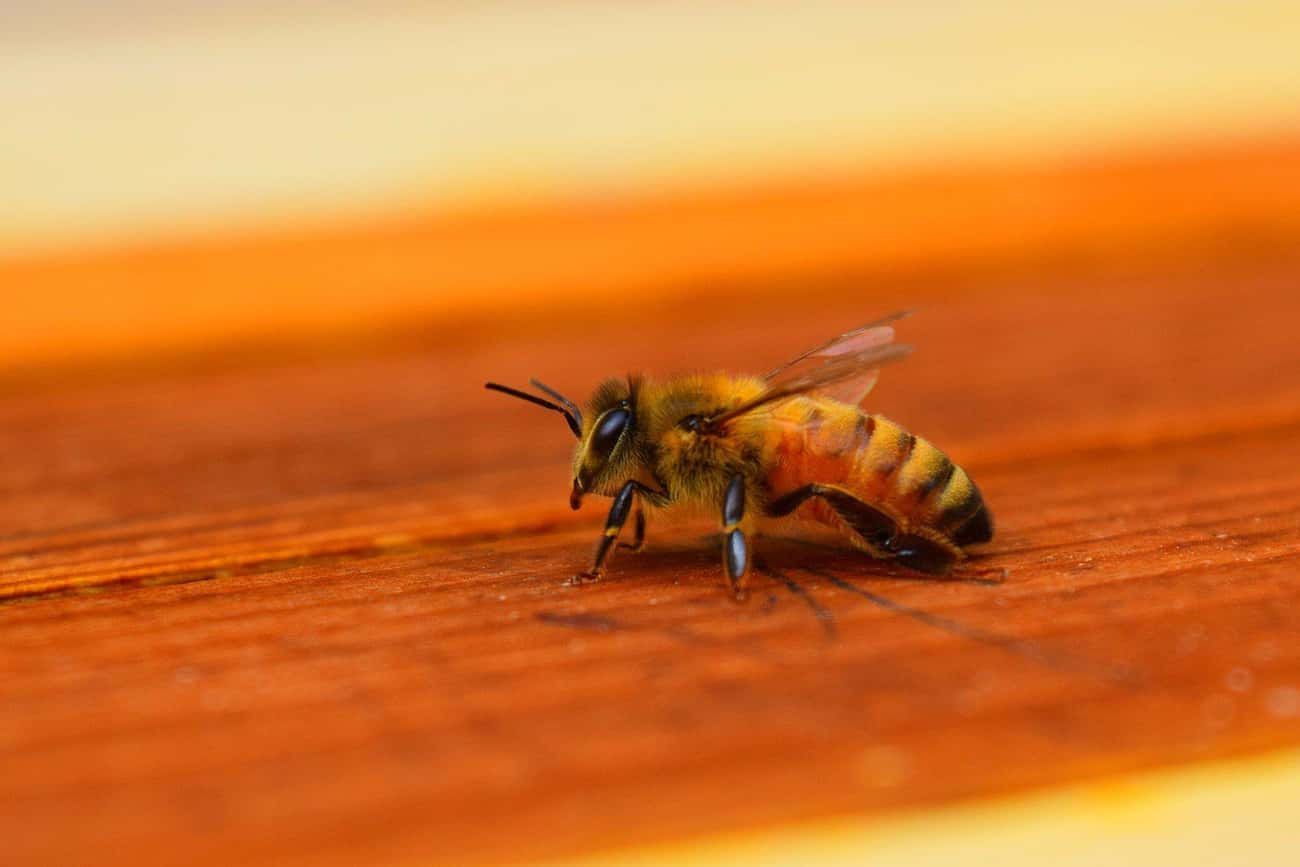 Bees Detect Explosives In Airports