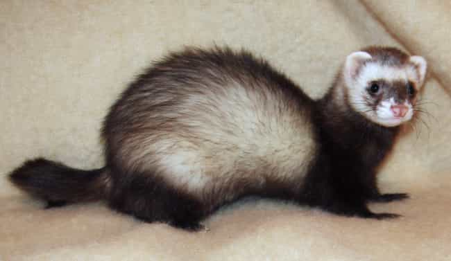 Ferrets Can Double As El... is listed (or ranked) 3 on the list 13 Utterly Bizarre Times Animals Have Been Given Jobs In The Human World
