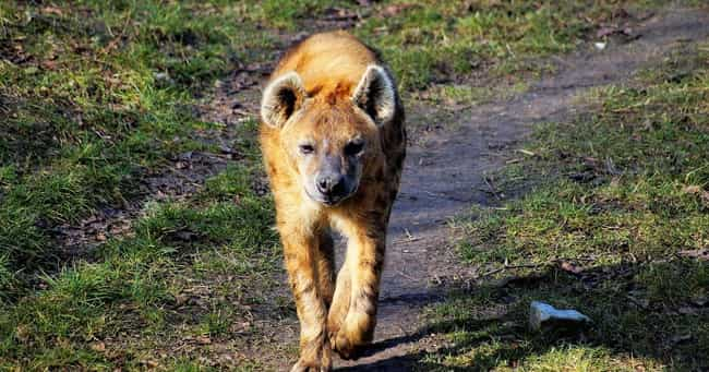 Hyenas Give Birth Throug... is listed (or ranked) 4 on the list 14 Utterly Bizarre Female Reproductive Systems In The Animal Kingdom
