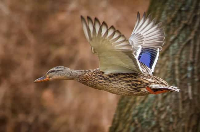 Female Ducks Are Special... is listed (or ranked) 3 on the list 14 Utterly Bizarre Female Reproductive Systems In The Animal Kingdom