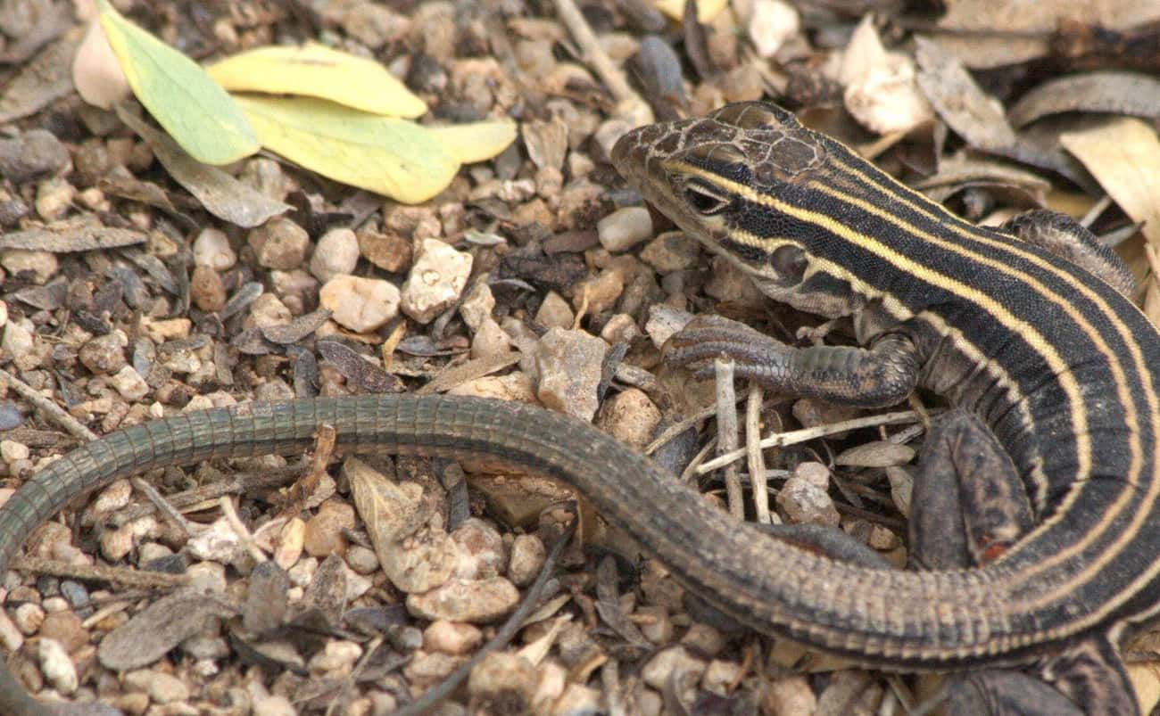 All Whiptail Lizards Are Female And Have Pseudo Sex To Reproduce