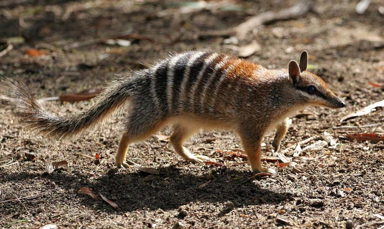 Numbats Are Basically Pocket-A is listed (or ranked) 1 on the list 14 Of The Cutest Marsupials Most People Have Never Heard Of