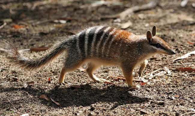 Numbats Are Basically Po... is listed (or ranked) 1 on the list 14 Of The Cutest Marsupials Most People Have Never Heard Of