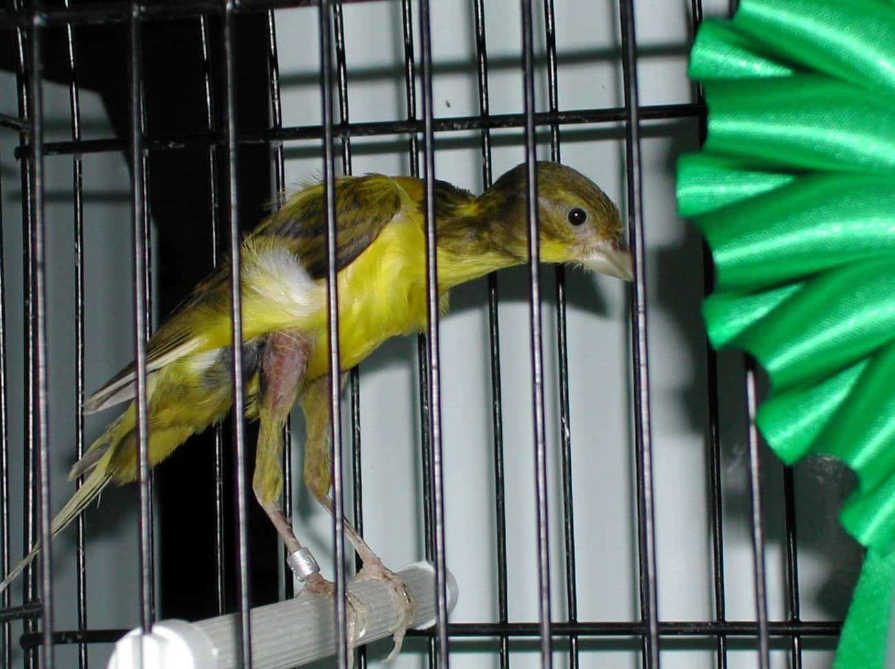 This Bird Is Bred To Look Like is listed (or ranked) 4 on the list 14 Utterly Strange Animals That Are The Result Of Selective Breeding