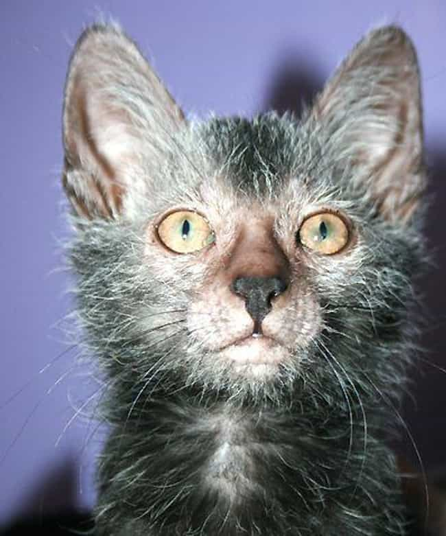 Lykoi Cats Look Like Lycanthro... is listed (or ranked) 1 on the list 14 Utterly Strange Animals That Are The Result Of Selective Breeding