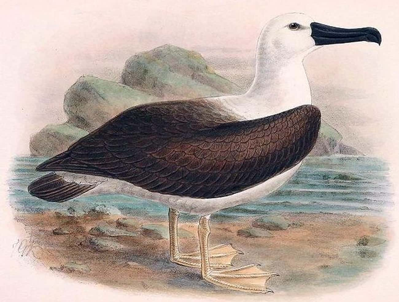 An Albatross Signals Good Fort is listed (or ranked) 4 on the list 15 Weird Superstitions That Sailors From History Had