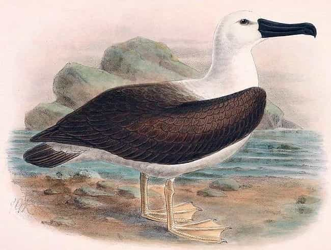 An Albatross Signals Good Fort... is listed (or ranked) 4 on the list 15 Weird Superstitions That Sailors From History Had