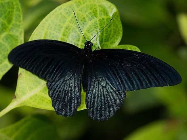 Black Butterflies Are Typicall... is listed (or ranked) 2 on the list 21 Bad Omens That Tell You Death Is Near