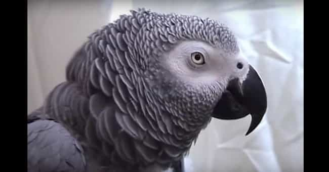 Alex Had A Strong Person... is listed (or ranked) 4 on the list Meet Alex The Parrot, The Bird With A Vocabulary Bigger Than Yours