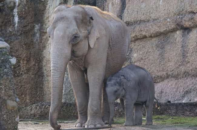Elephants Babies Love And Need... is listed (or ranked) 3 on the list Why Elephant Social Lives Are More Complex Than Ours