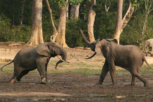 Bachelor Males Sometimes... is listed (or ranked) 4 on the list Why Elephant Social Lives Are More Complex Than Ours
