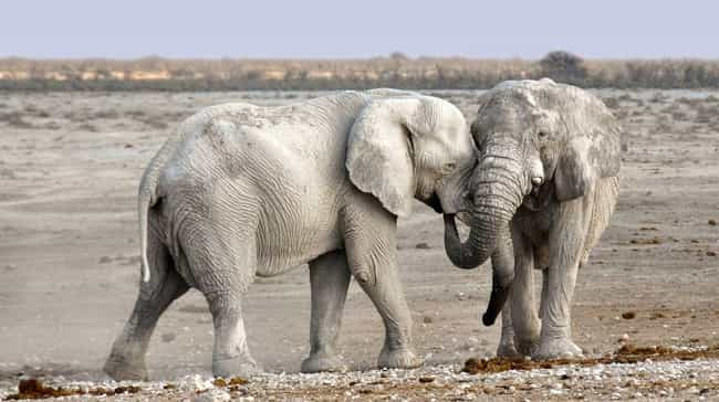 They Comfort Stressed Out Frie... is listed (or ranked) 8 on the list Why Elephant Social Lives Are More Complex Than Ours