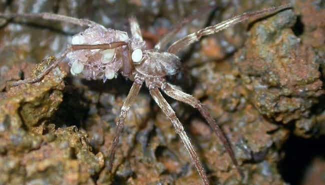 KauaʻI Cave Wolf Spider Is End... is listed (or ranked) 1 on the list The Creepiest, Most Alien Creatures That Only Live In Caves