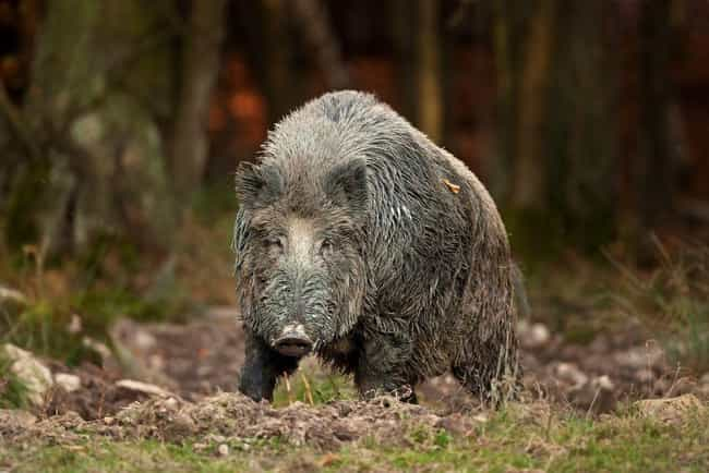 Radioactive Boars Stalk ... is listed (or ranked) 4 on the list 9 Fascinating Radioactive Animals That Exist As A Result Of Chernobyl