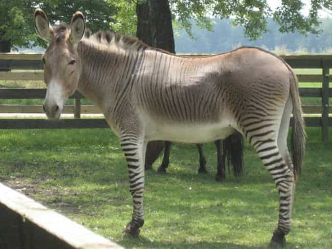 Zonkeys Were Bred For Tr... is listed (or ranked) 1 on the list 15 Weird Animal Crossbreeds That Actually Exist