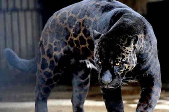 Jaglions Sometime Occur In The... is listed (or ranked) 3 on the list 15 Weird Animal Crossbreeds That Actually Exist