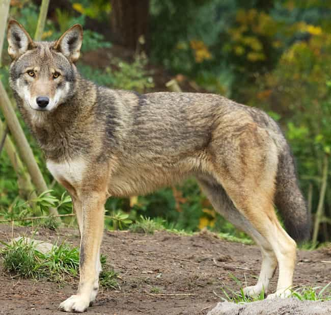 Coywolves Are Taking Over The ... is listed (or ranked) 4 on the list 15 Weird Animal Crossbreeds That Actually Exist
